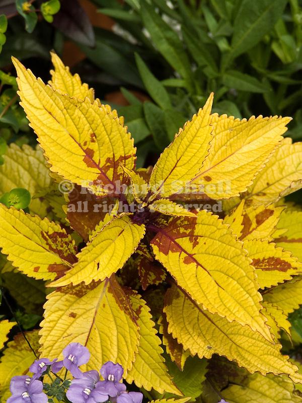 Pineapple Coleus, BlueBird Nemesia
