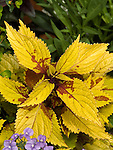 Pineapple Coleus, BlueBird Nemesia
