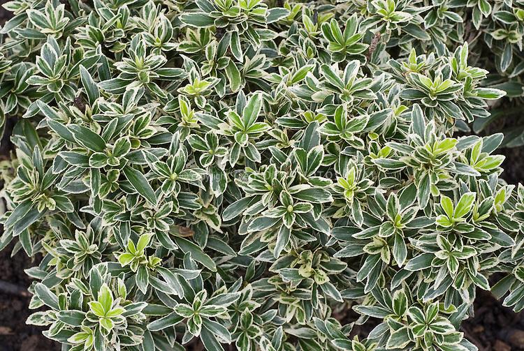 Euonymus japonicus Microphyllus Albovariegatus