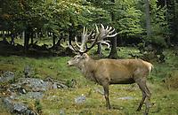 Rothirsch, Rot-Hirsch, Rotwild, Edelwild, Edelhirsch, Hirsch, Männchen, Cervus elaphus, red deer