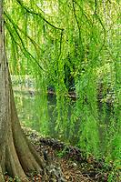 France, Indre-et-Loire (37), Azay-le-Rideau, parc et château d'Azay-le-Rideau en automne, cyprès chauve et ses pneumatophores
