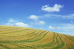 Field of golden cereal stubble crossed by tracks with grass growth on gently rolling hill under blue sky and wispy clouds Lincolnshire Wolds England UK