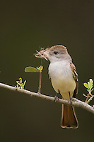 Ash-throated Flycatcher, Myiarchus cinerascens, adult with nesting material, Uvalde County, Hill Country, Texas, USA