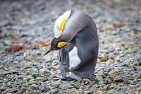 king penguin, Aptenodytes patagonicus, preening on the beach at Grytviken, South Georgia, South Atlantic Ocean