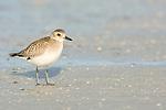 USA, Florida, Ft. Myer's Beach, Sanderling