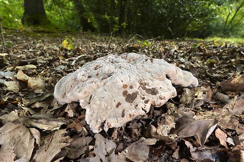 Velvet Tooth - Hydnellum spongiosipes