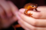 Young girl holding in her hands a rough skinned newt (taricha granulosa)