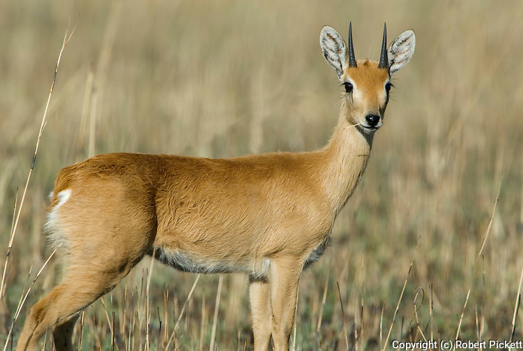 ORIBI, Ourebia ourebi, Senkele Wildlife Sanctuary, Ethiopia, Rare due to habitat destruction, male, horns, shy, Africa