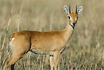 ORIBI, Ourebia ourebi, Senkele Wildlife Sanctuary, Ethiopia, Rare due to habitat destruction, male, horns, shy, Africa