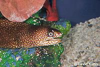 0114-0906  Ocellated Moray Eel (Spotted Moray), Gymnothorax saxicola © David Kuhn/Dwight Kuhn Photography.