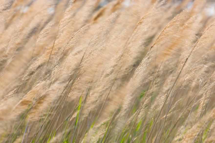 Reed grass (Calamagrostis) in wind, Camargue, France