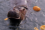Hippopotamus with smile after eating pumpkins in small pool at the Woodland park zoo Seattle Washingotn State USA