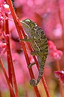 Flap-neck Chameleon (Chamaeleo dilepis)