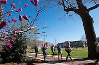 Japanese magnolia tree blossom outside McCool with students walking past.<br />  (photo by Megan Bean / &copy; Mississippi State University)
