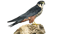 Hobby - Falco subbuteo W 70-85cm. Elegant falcon. Aerial mastery allows it to catch agile prey including Swifts, hirundines, and even dragonflies. In silhouette, has proportionately longer and narrower wings than Peregrine, and longer tail. Generally unobtrusive. Sexes are similar. Adult has blue-grey upperparts and pale, dark-streaked underparts. Has dark 'moustache', white cheeks and reddish orange 'trousers'. Juvenile is similar to adult but lacks reddish 'trousers' and underparts look buffish overall. Voice Utters a shrill kiu-kiu-kiu…in alarm. Status Scarce summer visitor; breeds mainly in S and SE England. Favours heathland and farmland with scattered woods. are favoured; on migration, a Hobby could turn up almost anywhere. Between 500 and 1,000 pairs are probably present in the region in the summer months.