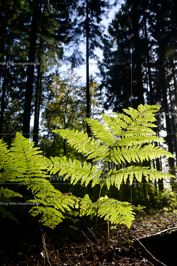 Germany, fern in forest / DEUTSCHLAND, Farnkraut, Wald in der Lueneburger Heide