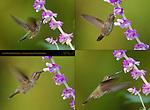 Anna's Hummingbird Female, Feeding on Sage in Hovering Flight, Composite Flight Study, Southern California
