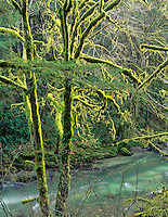 Moss covered trees and Santiam River, Oregon.