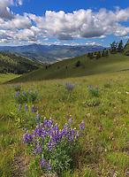 National Bison Range Wildlife Refuge<br /> Rolling prairie hillsides with summer flowers under cumulus clouds