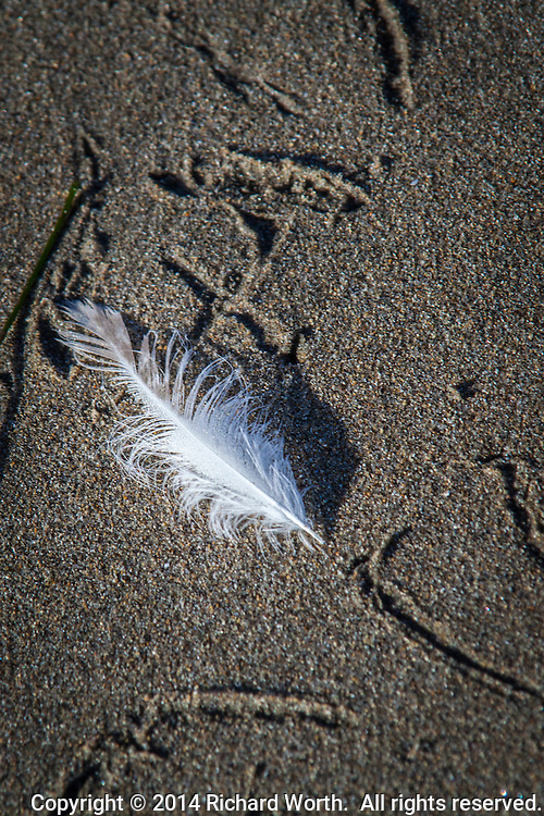 A feather lies on sand with the scattered marks of bird tracks.
