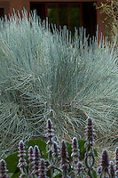 Ephedra equisetina, Bluestem Ephedra, silver grey foliage drought tolerant shrub in New Mexico backyard garden, design by Judith Phillips