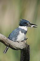 Belted Kingfisher, Megaceryle alcyon, male with fish, Willacy County, Rio Grande Valley, Texas, USA, May 2004