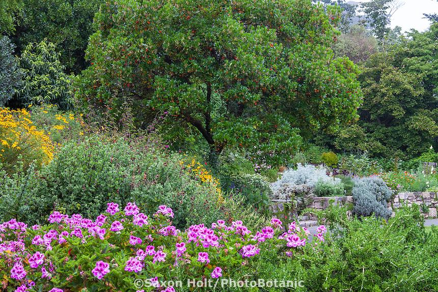 Arbutus tree with scented Pelargonium 'Orsett'  in the Garden of Fragrance San Francisco Botanical Garden