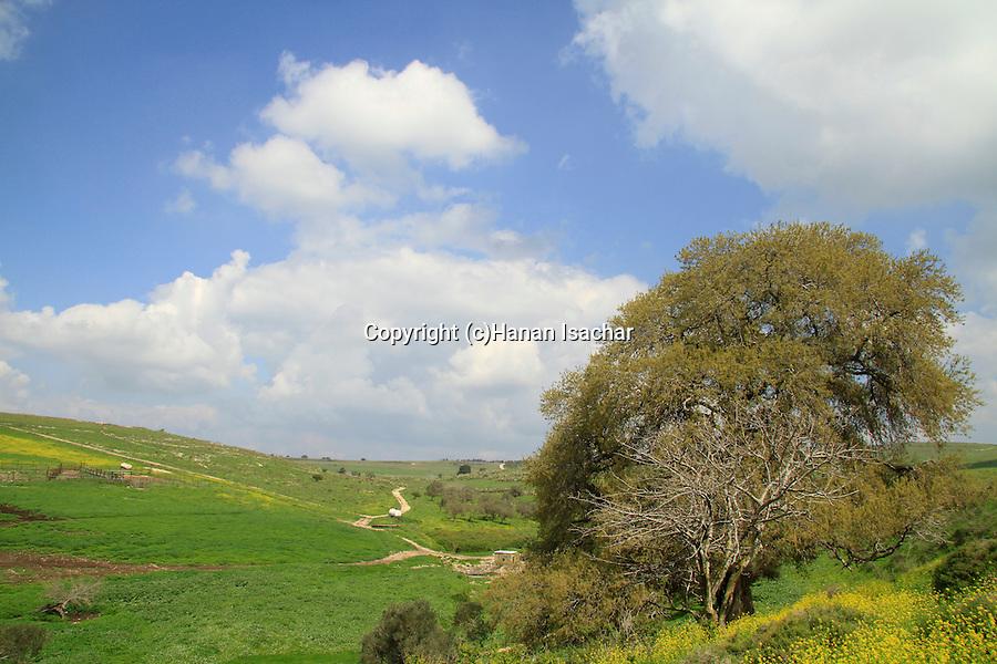 Israel, Menashe Heights, Mount Tabor Oak (Quercus ithaburensis) in Ein Kafrin