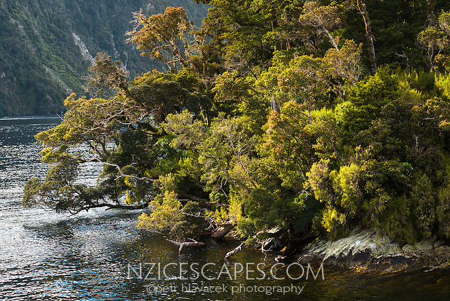 Beautiful native rainforest on Rolla Island in Doubtful Sound, Fiordland National Park, UNESCO World Heritage Area, Southland, New Zealand, NZ