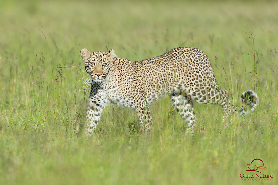 A rare sight - Leopard (Panthera pardus) in the open during daylight, Masai Mara