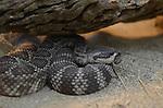 FB-S157  4x6 postcard.  Rattlesnake