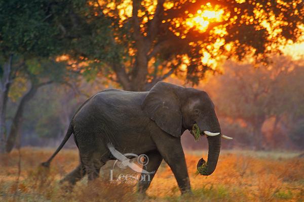 African elephant bull (Loxodonta africana).  Early morning at Mana Pools National Park, Zimbabwe.