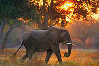 African elephant bull (Loxodonta africana).  Early morning at Mana Pools National Park, Zimbabwe.