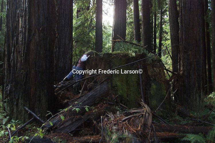 A couple pairs into a trunk of a giant redwood found up in Mendocino County, California.