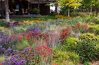 Sedum 'Matrona' in Colorado prairie garden meadow with Carex muskingumensis (palm sedge), grasses, asters, and perennial seedheads; Scripter garden, design Lauren Springer Ogden
