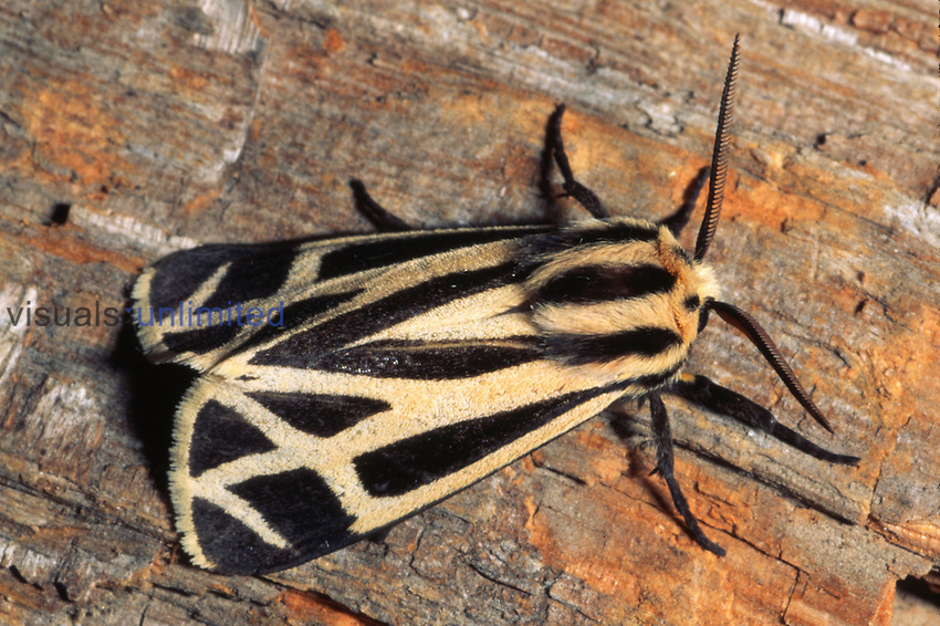 Banded Tiger Moth (Apantesis phalerata) on a log showing the sharply striped wings.