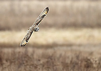Short-eared owls are commonly seen gliding over the fields at Boundary Bay.