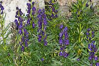 Blauer Eisenhut, Wolfshut, Aconitum napellus, Friar´s Cap, Garden Monkshood