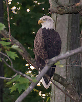 Bald eagle perched in tree in Bangor, MI. Taken by T J