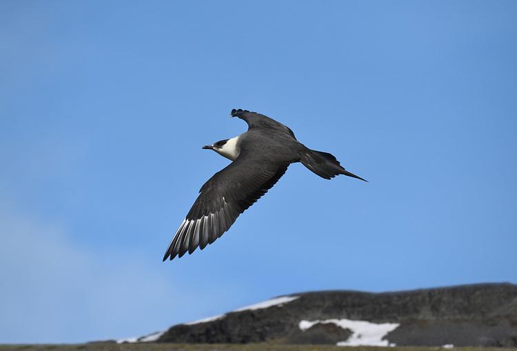 Arctic Skua - Stercorarius parasiticus