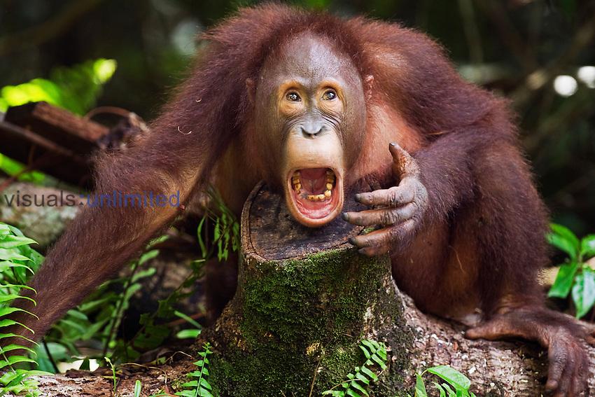 Bornean Orangutan male adolescent aged 8 years yawning (Pongo pygmaeus wurmbii), Camp Leakey, Tanjung Puting National Park, Central Kalimantan, Borneo, Indonesia.