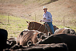Gary Poggio pushes the cattle after calf marking and doctoring with the Dell'Orto outfit, Goodell Ranch, Paloma, Calif.