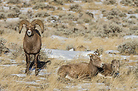 Bighorn Sheep (Ovis canadensis) family--ram, ewe and lamb.  Western U.S., late fall.