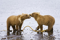 BooBoo and Corona, Lady Hook's spring cubs, play with a piece of kelp. Kodiak grizzly bear (Ursus arctos middendorffi), Hallo Bay