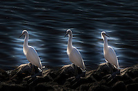 Three images of a single Snowy egret posing on the rocky shore have been blended together using image processeing software.