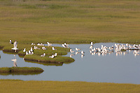 Herring Gulls resting in salt marsh; Larus argentatus; Black Skimmers flying by;  NJ, Delaware Bay, Stone Harbor