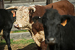 Late winter calf marking, branding and doctoring at the Stony Creek corral with the Busi Ranch in the Sierra Nevada Foothills of Amador County, Calif...Hereford bull in the cow pen