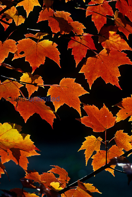 Red Maple tree leaves in their fall colors (Acer rubrum), North America....