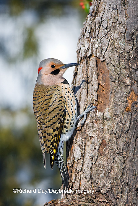 01193-01607 Northern Flicker (Colaptes auratus) male on dead tree in winter, Marion Co, IL