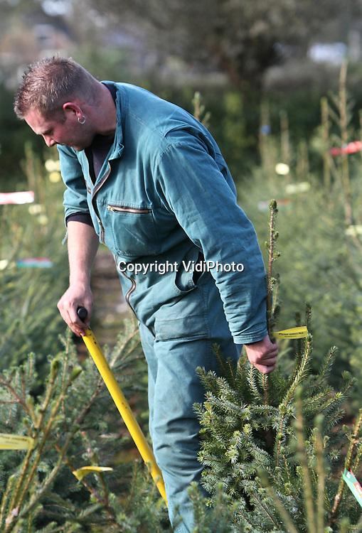 Foto: VidiPhoto..OENE - Personeel van handelskwekerij De Buurt in Oene is maandag volop bezig om kerstbomen te steken. Door de schaarste in kerstbomenland liggen de prijzen dit jaar hoger dan normaal. Veel kwekers zijn namelijk enkele jaren geleden gestopt met kerstbomen toen de markt werd overspoeld met de goedkope Nordmansoort uit Denemarken. Door de slechte prijzen wereldwijd komen er nu echter ook minder kerstbomen uit Denemarken, met als gevolg duurdere kerstbomen. Volgens De Buurte, met 100.000 kerstbomen de grootste kweker van Nederland, is de Hollandse fijnspar weer helemaal terug van weggeweest.